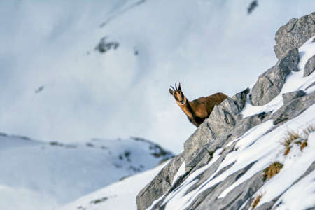 Chamois in the snow on the peaks of the National Park Picos de Europa in Spain. Chamois, Rupicapra rupicapra. Stockfoto