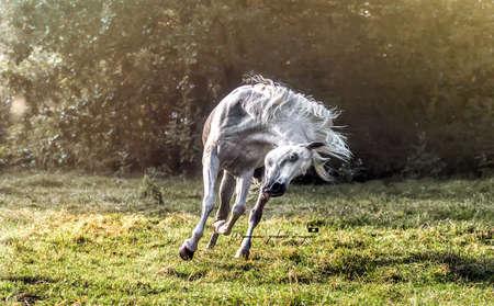 whrite arab stallion