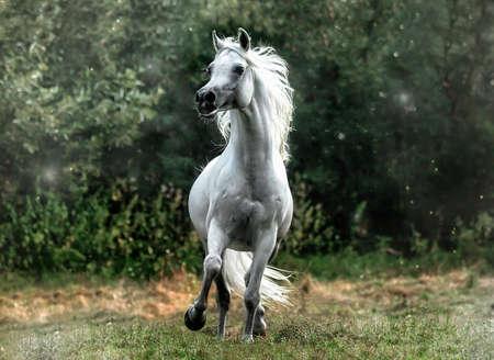 white galloping Arabian stallion Imagens