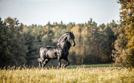 Beautiful black horse. The Friesian stallion gallops in the autumn meadow in the sun Stock Photo