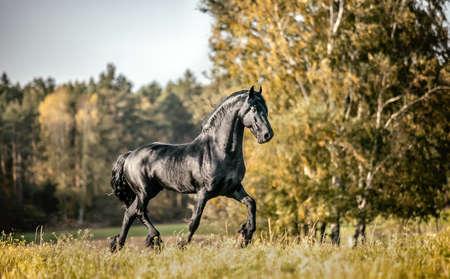 Beautiful black horse. The Friesian stallion gallops in the autumn meadow in the sun Standard-Bild