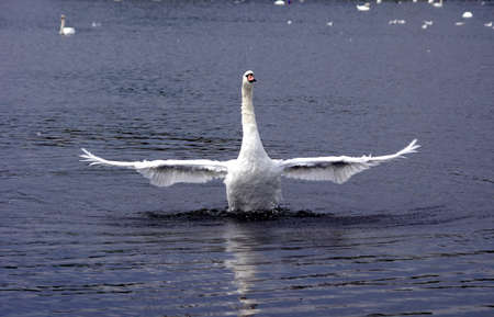 wingspan: White swan showing his wingspan  Stock Photo