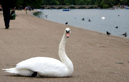 Big white swan along the Serpentine in Hyde Park