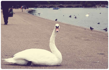 Big white swan along the Serpentine in Hyde Park - Vintage