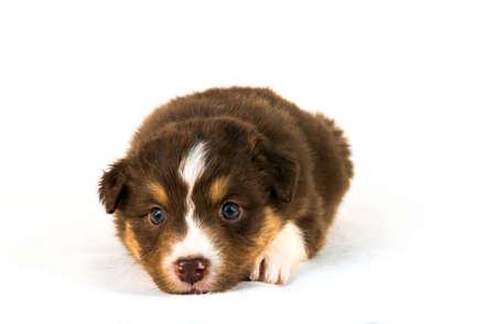 tricolor: Red Tricolor Australian Shepherd puppy Stock Photo