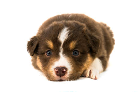 Red Tricolor Australian Shepherd puppy photo