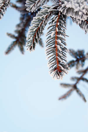 ponderosa: Pine tree covered with frost, against the blue sky
