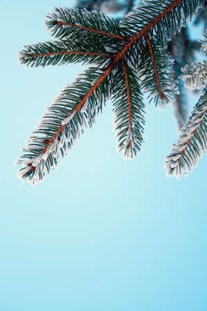 Pine tree covered with frost, against the blue sky