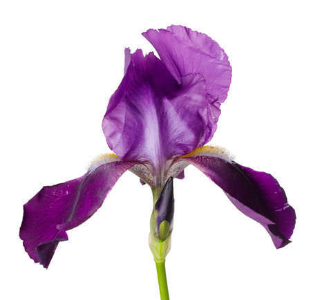 Single iris flower on stem isolated on white background