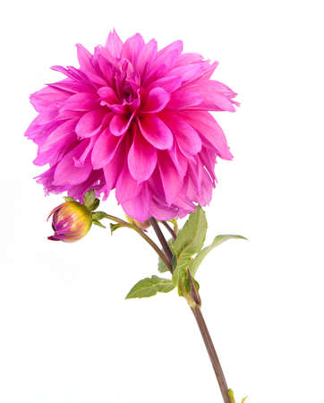 Alone pink dahlia flower, on white background