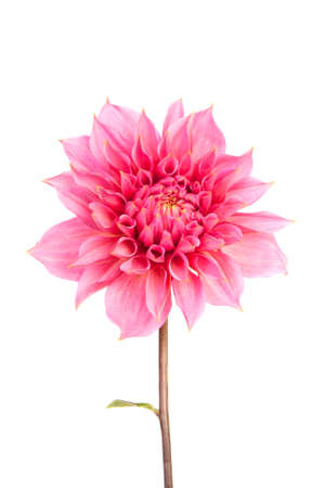 Alone pink flower, on white background