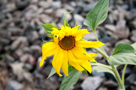 Young flower of a sunflower against stones