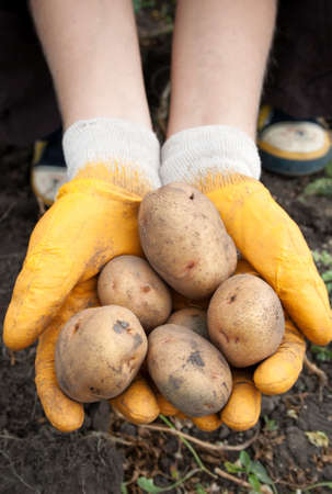 Female hands hold a fresh potato Stock Photo