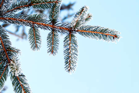 Pine tree covered with frost, against the blue sky photo
