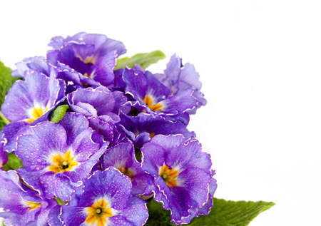 Beautiful violet flower, on a white background