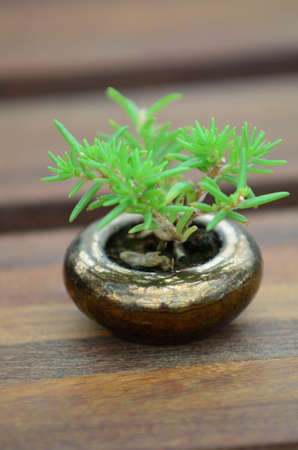 Mini árbol Bonsai Foto de archivo - 29883621