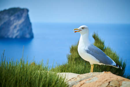 Speaking gull sits on a rock near the sea