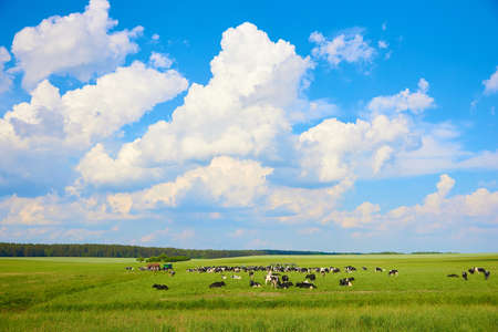 The herd of cows feeding on the meadow under blue sky with clouds