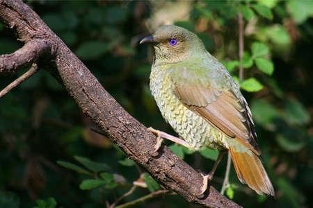 bower: Female Satin Bower Bird