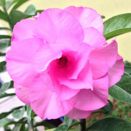 adenium: Pink adenium