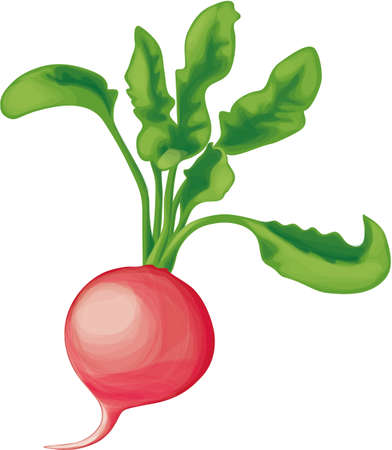 One small radish with greens, on a white background Vetores