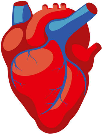 heart valves: anatomy of the human heart in red color with blue veins