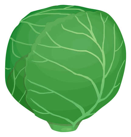 One head of green cabbage, tightly wrapped leaves with veins, cartoon simple style, Isolated on white background Illustration