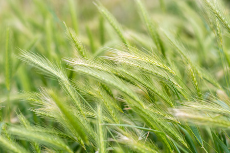 secale: A field of fresh green rye outside in the sun Stock Photo