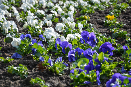 A field of pansies with dirt in the sun Stock Photo