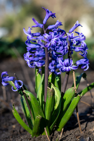 Beautiful hyacinths in the park with the afternoon sun close up