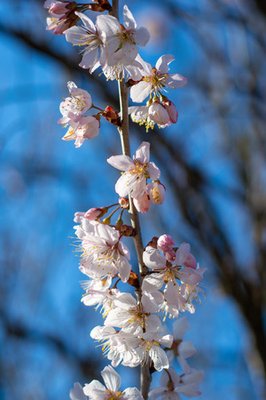 Beautiful dwarf almonds on a tree in the afternoon sun and blue sky close up