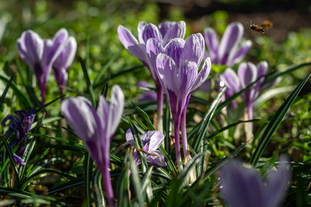 Small group of crocuses on grass in the spring sun Stock Photo