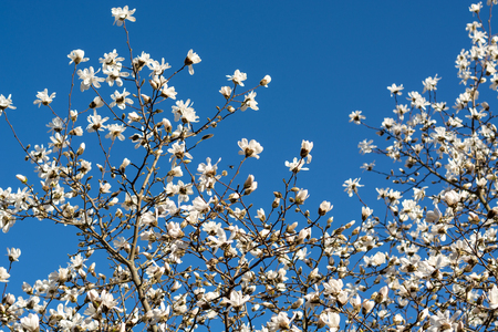Blooming white magnolias on a tree with blue sky in the spring sun