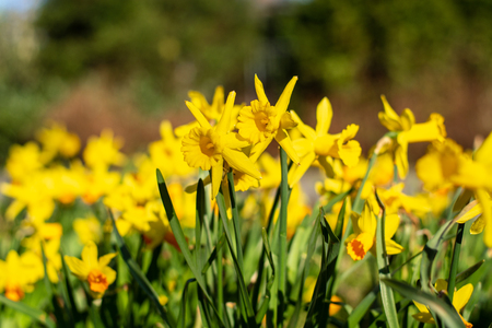 Beautiful field of jonquils in the park in the sun close up