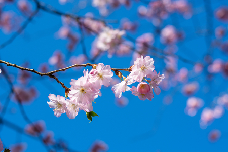 Beautiful dwarf almonds on a tree in the afternoon sun and blue sky close up Stock Photo - 101750036