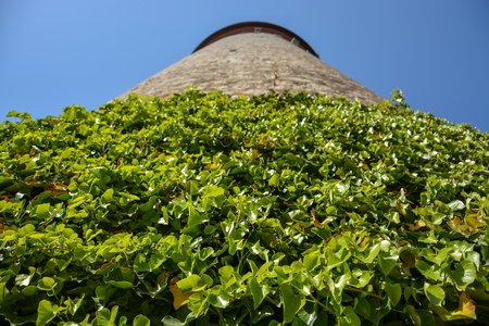 Climbers plant on the medieval tower in the courtyard of the Marienberg castle with blue sky close up