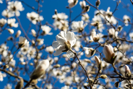 Blooming white magnolias on a tree with blue sky in the spring sun Stock Photo - 101784438