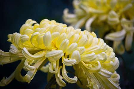 buttery: Buttery Yellow Chrysanthemum