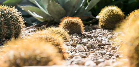 Cacti in Desert Botanical Garden, Phoenix, Arizona