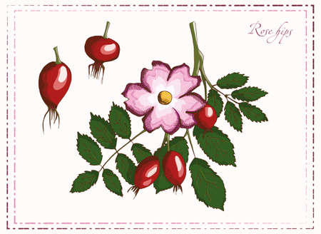 rose hips: Painted rose hips on a neutral background, vector illustration