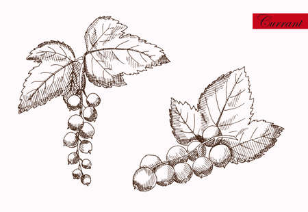 currants: Drawn pencil currants on a neutral background