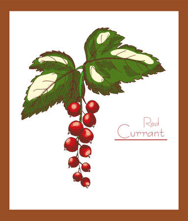 red currant: Red currant on a neutral background
