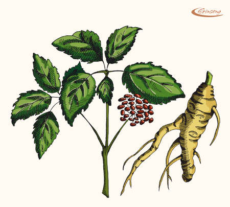 neutral background: Ginseng root on a neutral background Illustration