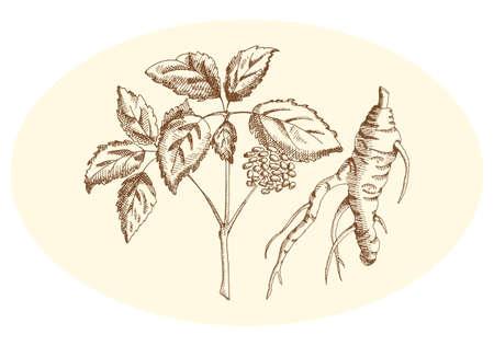 flores chinas: Ginseng en lápiz sobre un fondo neutro