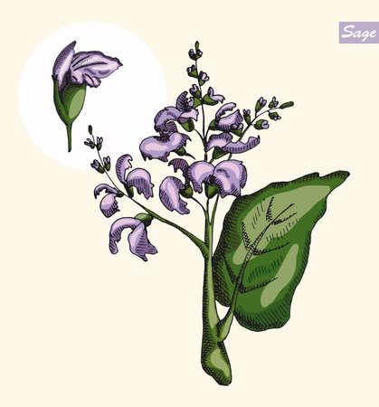 neutral background: Sage and sage flower on a neutral background, color illustration