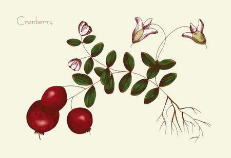 Handzeichnung von Cranberry auf einem neutralen Hintergrund