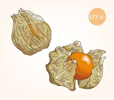 neutral background: Physalis vector sketch, neutral background