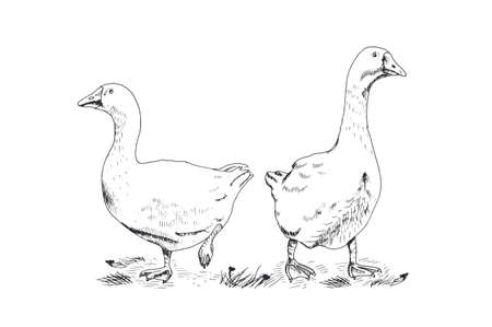 webbed: Hand drawing geese on white background