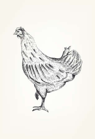 pet breeding: Hand drawing of a chicken, neutral background