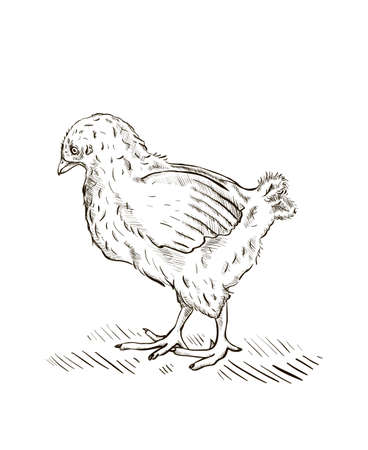 Engraved baby chick illustration.